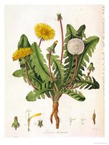 dandelion-3