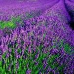 lavender-150x150
